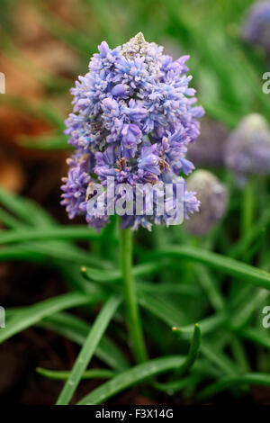 Muscari 'Blue Spike' close up of flower - Stock Image