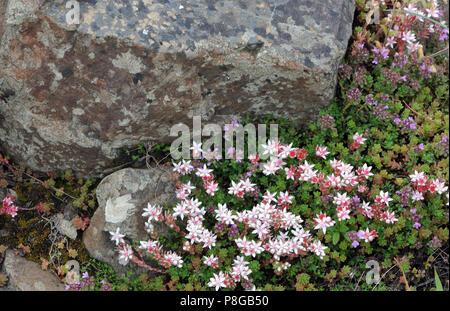 English stonecrop (Sedum anglicum) and wild thyme (Thymus praecox) grow among the basalt boulders of the Giants Causeway. Bushmills, Antrim, Northern - Stock Image
