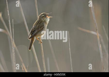 Sedge warbler (Acrocephalus schoenobaenus) singing in reedbed. Norfolk, England. May. - Stock Image