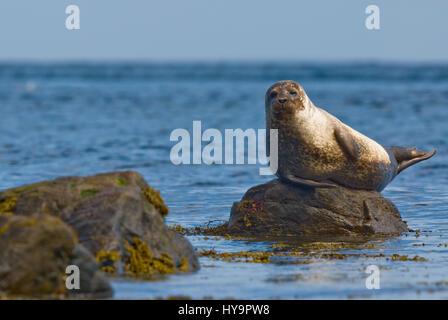 Common Seals resting on rocks - Stock Image