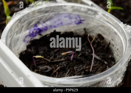 Chilli 'Pretty in Purple, Rainbow' seedlings growing in a reused plastic container indoors in February, Wales, UK - Stock Image