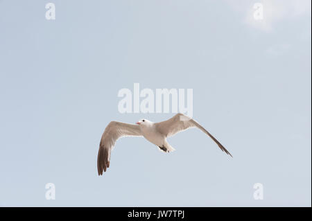 Audouin's Gull, (Larus audouinii), in flight, Ibiza, Balearic Islands, Spain, Mediterranean Sea - Stock Image