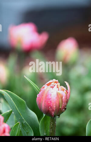 Beautiful double ruffled pink tulip , Angelique tulips, with rain drops growing in a garden. Selective focus with soft blurred background. - Stock Image