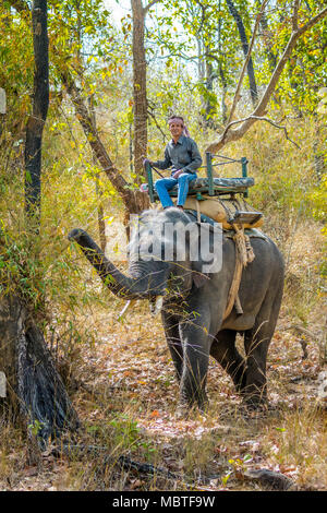 Mahout on an Asian, or Indian Elephant, Bandhavgarh National Park, Tala, Madhya Pradesh, India - Stock Image