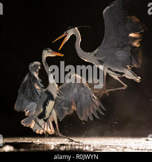 Two Grey Herons fighting at night in an icy marsh, Kiksunsagi National Park, Hungary - Stock Image