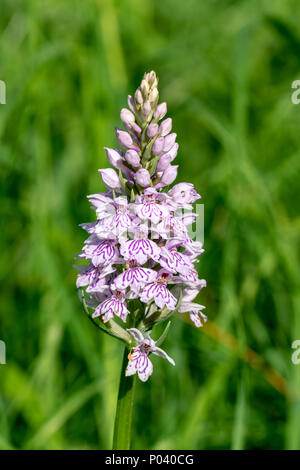 Common Spotted-orchid - Dactylorhiza fuchsii - Stock Image
