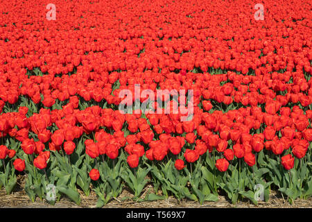 Traditional Dutch tulip field with red flowers - Stock Image