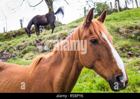 Horses in a meadow, Cantal, France. - Stock Image