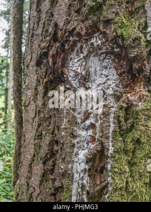Trunk of a coniferous tree on which the tree resin has leaked and dried. The resin makes a good fire-lighting material for survival times / preppers, - Stock Image