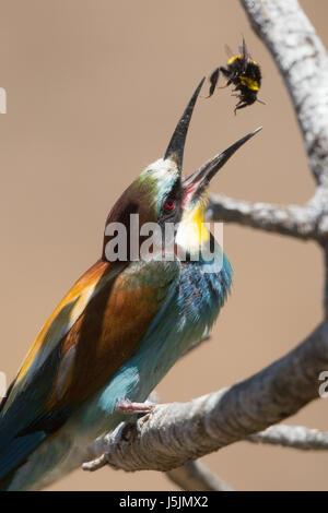 European Bee-eater (Meriops apiaster) bringing food to nesting chicks. - Stock Image
