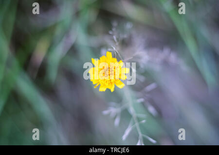 Selective focus, closeup of a marigold flower in Hampstead Heath of London - Stock Image