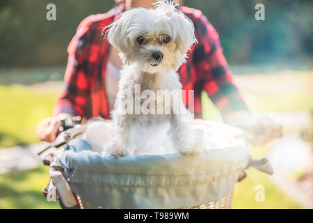 White maltese dog in white and blue basket on the bike. - Stock Image