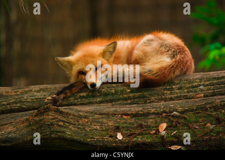 Red Fox Resting - Stock Image