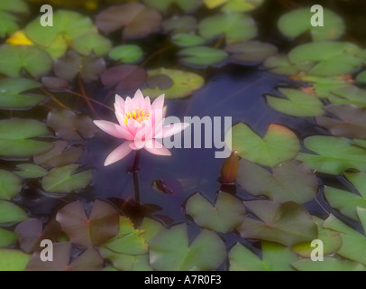 Pink water lilly - Stock Image