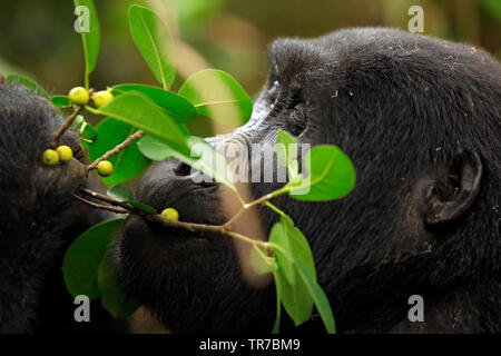 Close-up of a Mountain Gorilla (Gorilla beringei beringei) Feeding on Berries. Bwindi Impenetrable National Park, Uganda - Stock Image