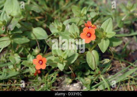 Scarlet Pimpernel ( Anagallis arvensis: Primulaceae), UK - Stock Image