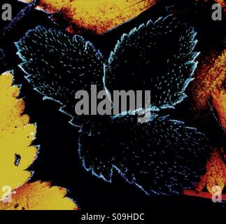 Frost on Leaves - Stock Image