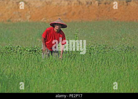 farmer tending rice crop  near Way Kambas NP, Sumatra, Indonesia         June 2014 - Stock Image