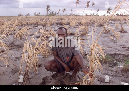 Floods in Mozambique March 2000; This farmer's field of maize in Matace, near Mombone on the Save river has - Stock Image