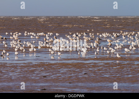Flock of wading birds at High tide, Hoylake, Wirral - Stock Image