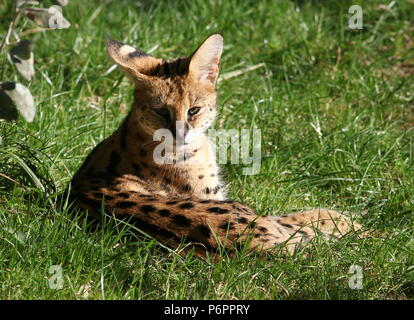 Female African Serval (Leptailurus serval) resting - Stock Image