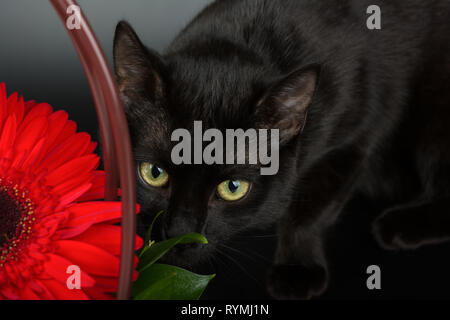 Closeup of an european black cat on black background hiding behind a red flower. - Stock Image
