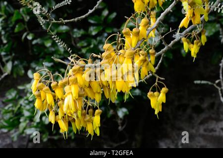 Sophora tetraptera Grandiflora yellow flowers with forward pointing petals - Stock Image