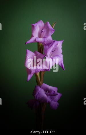 purple gladioli flower on a green background - Stock Image