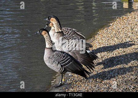 Three Hawaiian Geese or Nene (Branta sandvicensis) standing beside a lake in Southern England - Stock Image