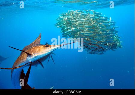 Sailfish (Istiophorus albicans) hunting Sardines (Sardinella), Yucatan Peninsula, Mexico. Caribbean Sea. - Stock Image