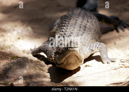Front view  of a large  Crocodile  at Hartley's Crocodile Adventures, Captain Cook Highway, Wangetti, Queensland, Australia. - Stock Image