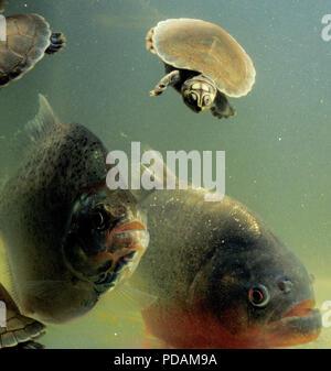 (EDITORS NOTE: Retransmission with alternate crop) - Carnivore piranhas attack baby river turtles, Amazon river basin, Roraima State, north Brazil. - Stock Image