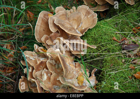 Fungii at Ilam park - Stock Image