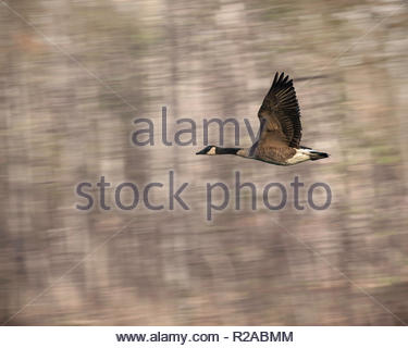 Canada Goose flying past forest of Rouge National Urban Park an urban wilderness in Toronto Ontario Canada - Stock Image