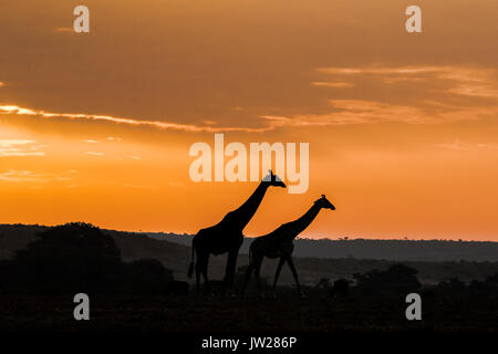 Masai Giraffe (Giraffa Camelopardalis tippelskirchi) mother and child on the savannah at sunrise - Stock Image