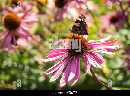 Red Admiral butterfly sitting on an Echinacea Purpurea flower - Stock Image