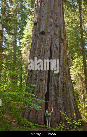 Hiker beside giant sequoia redwood tree, Calaveras Big Trees State Park,  west side of Sierra Nevada, near Arnold - Stock Image