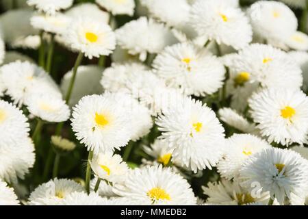 Speedstar, Bellis Perennis, White English Daisy in bloom - Stock Image