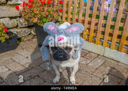 Mousehole, Cornwall, UK. 19th Apr, 2019. Titan the pug modelling his Easter bonnet on Good Friday. Credit: Simon Maycock/Alamy Live News - Stock Image