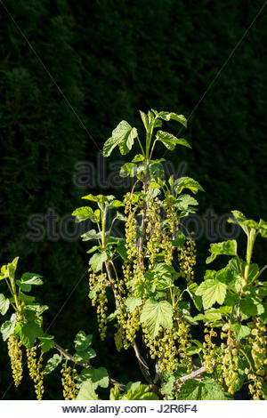 Leaves and budding fruits form on the stem of a Johannisberre (Ribes rubrum, red currant) plant in early spring. - Stock Image