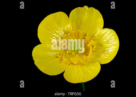 Flower of a yellow meadow buttercup, Ranunculus acris, showing its structure against a black background - Stock Image