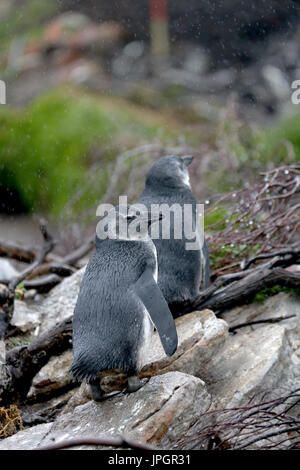 Young African penguin or Jackass Penguin (Spheniscus demersus) at the penguin colony of Stony Point, getting curious about visitors - Stock Image