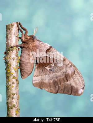 Female Polyphemus moth resting after laying eggs. Eggs are visible on the stick - Stock Image
