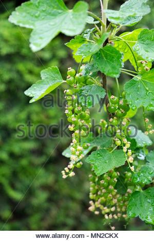 Fresh spring growth on Johannisbeeren, AKA red currants, gooseberries, Ribes rubrum - Stock Image
