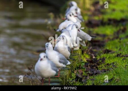 Black Headed Gulls in their winter plumage perched in a row on the side of a lake. - Stock Image