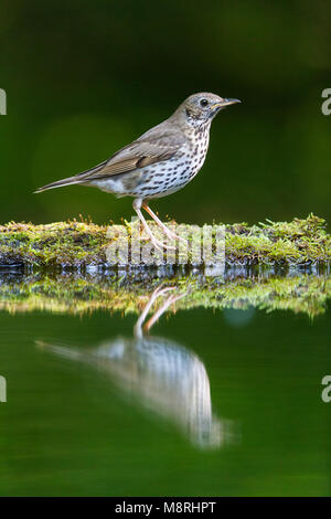 Song Thrush (Turdus philomelos) standing beside a forest pool - Stock Image