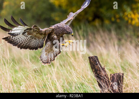 A wild buzzard landing on a tree stump.The Buzzard is a bird of prey in the Hawk and Eagle family. - Stock Image