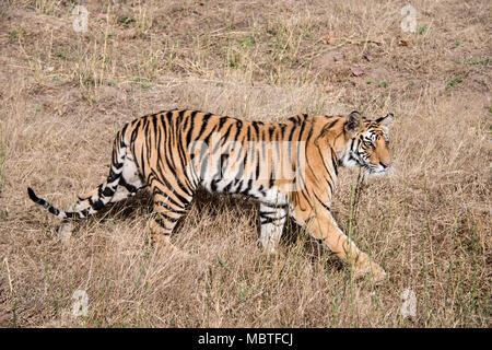 Two year old male Bengal Tiger, Panthera tigris tigris,side view, full length, walking in the Bandhavgarh Tiger Reserve, Madhya Pradesh, India - Stock Image