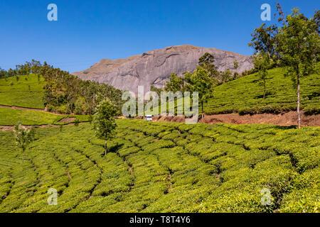 Horizontal view of Anamudi peak with the tea plantations in Eravikulam National Park in Munnar, India. - Stock Image