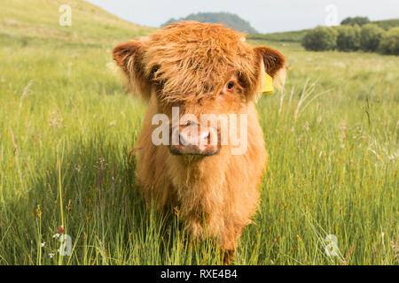 Highland Cow calf in field in Scotland, UK - Stock Image
